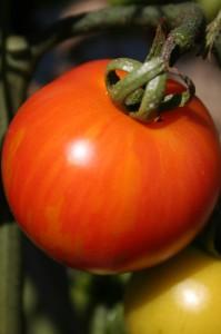 Tigerella, tomato, vegetable, salad
