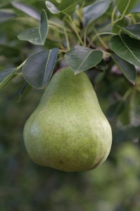 William, pear, fruit, fresh, tree, ripe