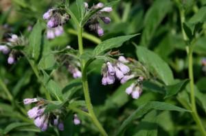 comfrey, Symphytum, herb, compost, nutrients