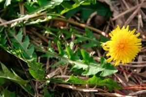 dandelion, Taraxacum, flower, leaves, weed