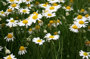 Chamomile is good for the compost as it sweetens the mixture