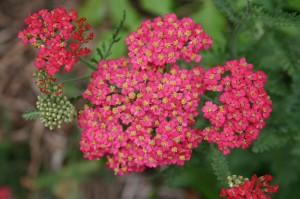 Yarrow, herb, flower, compost activator
