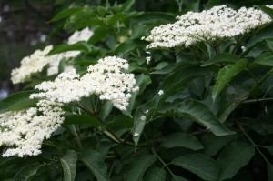 The clear white flowers of the elder tree