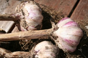 Freshly harvested hard neck garlic 'New Zealand Purple'