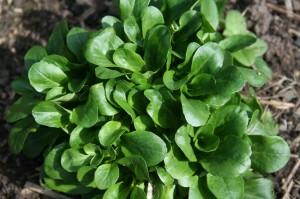 Corn salad, Valerianella locusta, lamb's lettuce, delicious winter salad plant.