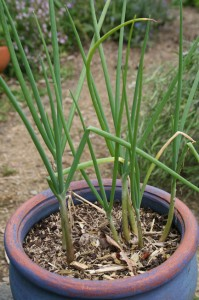 Ever-ready onions grow like chives and can be used as a spring onion substitute.