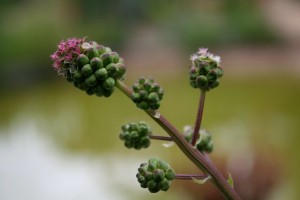 The dainty unusual flower of salad burnet