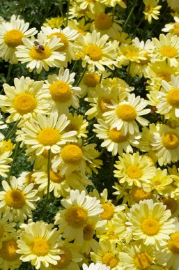 Dyer's chamomile
