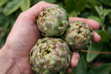 Flower buds of Green Globe artichoke