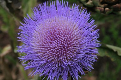 Striking purple artichoke flower