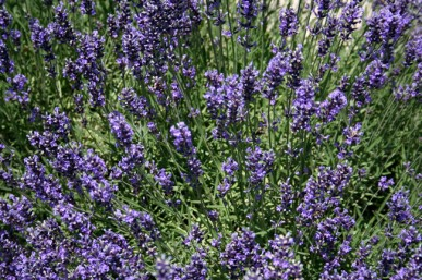 Delightfully scented English lavender