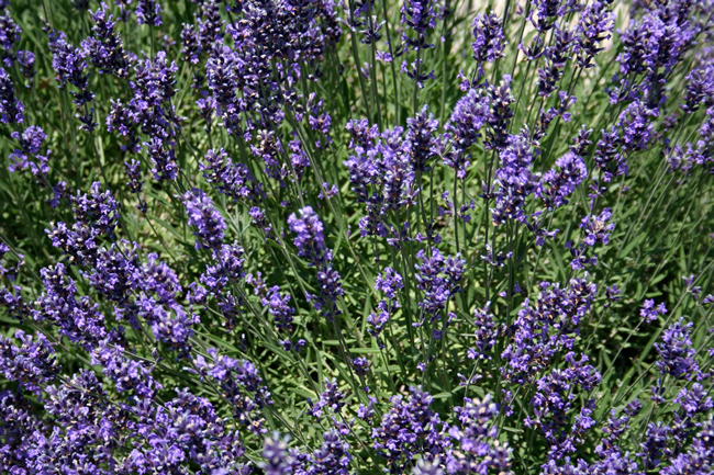 Lavender-Egerton-Blue-Lavandula-angustifolia-Egerton-Blue.jpg