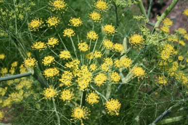 chewing fennel seeds helps to reduce appetite.