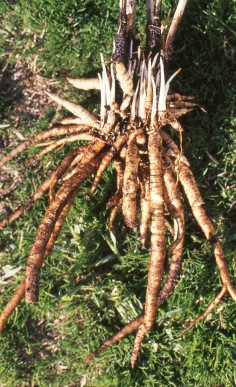 Edible skirret tubers