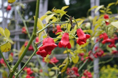 Bell chillies in winter