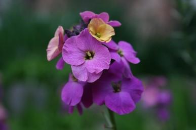 Purple wallflower