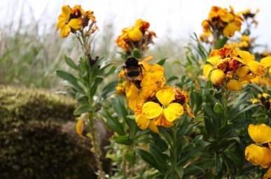 Wallflower and bumble bee