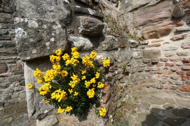 Wallflowers in a wall