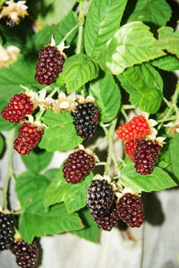 Ripening marionberries