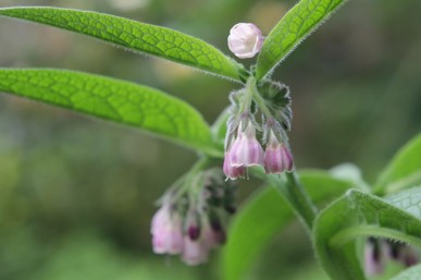 Comfrey has lovely bell shaped flowers