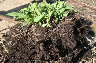 The clump dug out of the soil.
