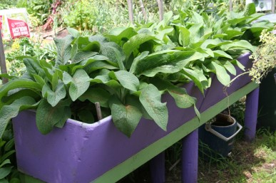 Comfrey growing in big tubs to keep it under control
