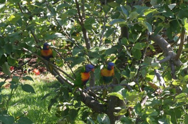 Net your berries to protect them from rosellas and other parrots