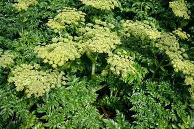 Glossy green leaves and attractive pale green flower heads.
