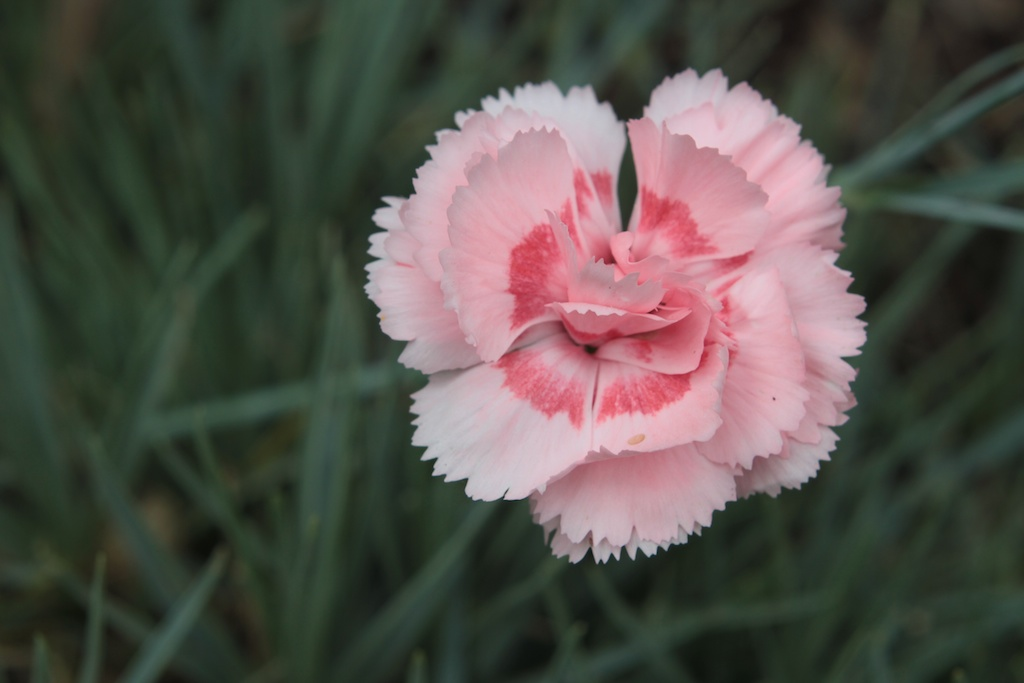 Dianthus gillyflowers carnations pinks sweet williams picotees dianthus doris mightylinksfo Choice Image