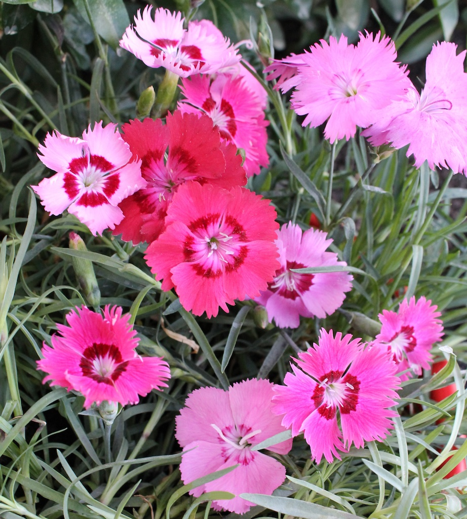 Dianthus Gillyflowers Carnations Pinks Sweet Williams Picotees