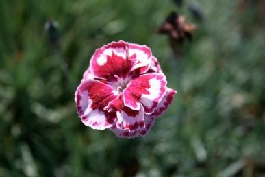 Dianthus Irene Shipp
