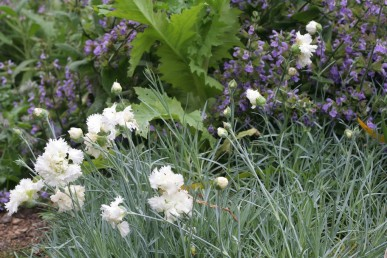 Clove scented Mrs Sinkins with sage