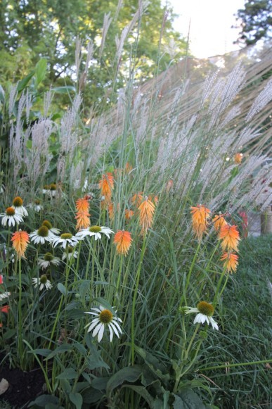 Echinacea, pokers and grasses