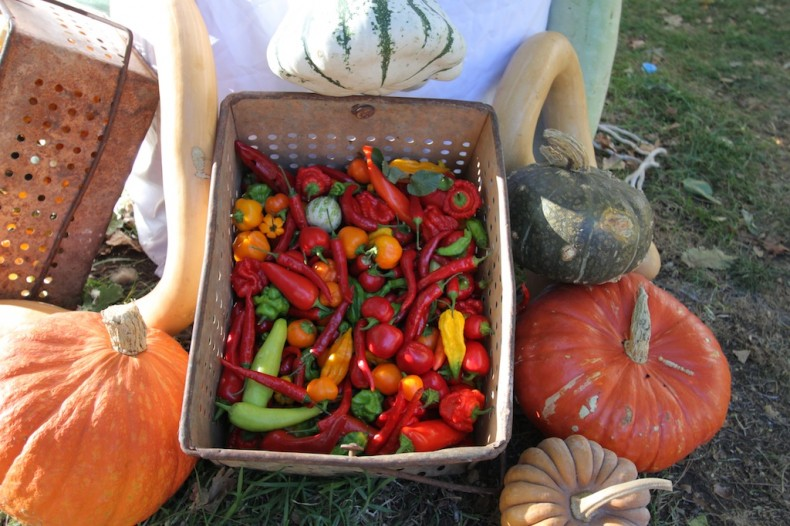 Diggers' pumpkins, gourds and chillis