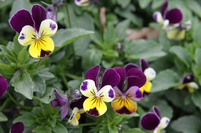 the three coloured faces of heartsease flowers