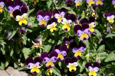 Heartsease flowers are like violas