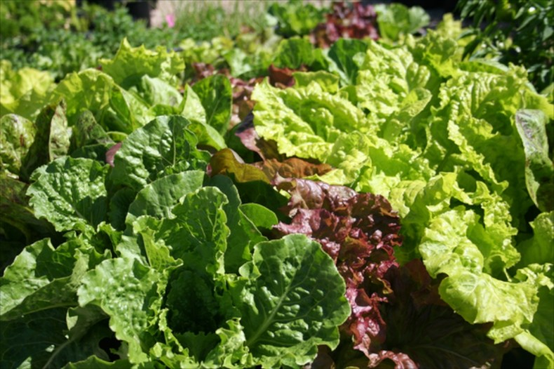 Crispmint, flame and Australian yellow leaf lettuces
