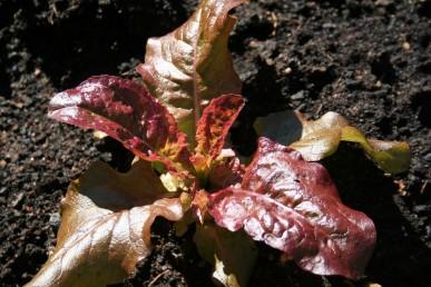 Flame lettuce