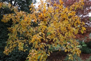 Medlar tree in full autumn colours