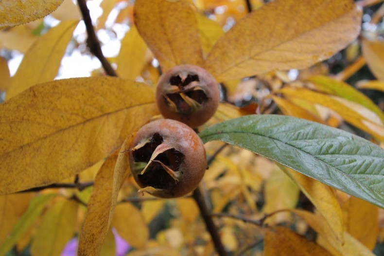 Medlars ready to pick