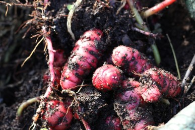 New tubers grow underground from the roots