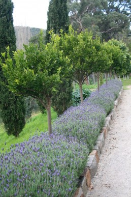 A hedge of Lavandula detata Monet