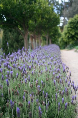 French lavender in flower