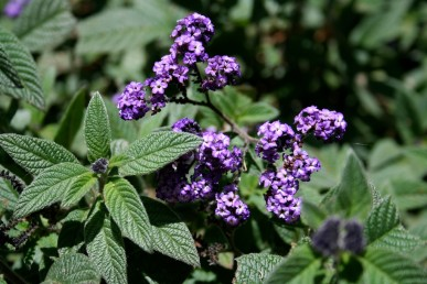 The darker leafed Lord Roberts heliotrope