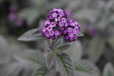 The dark purple flower of Lord Roberts heliotrope