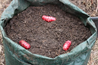 Three oca tubers planted in a 45L grow bag.
