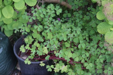 The clover-like typically oxalis foliage
