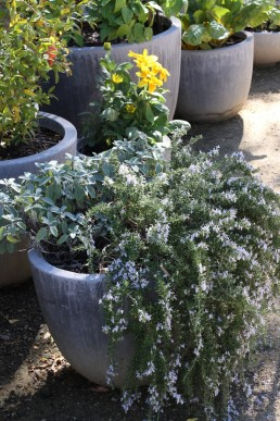 Blue-flowered prostrate rosemary