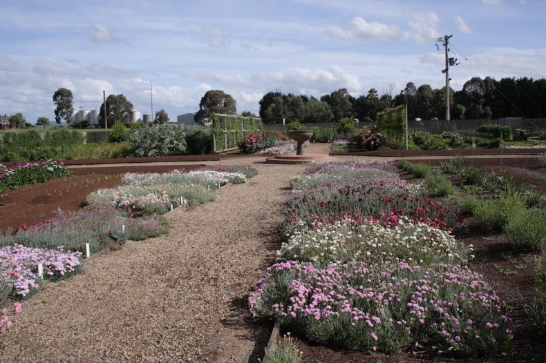 Dianthus at Lambley