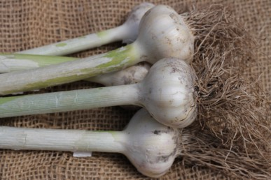 Freshly harvested white hardneck garlic